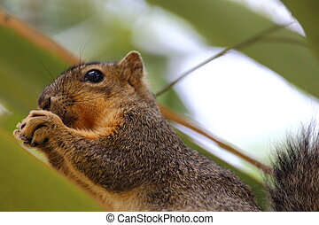 Eastern Fox Squirrel - An eastern fox squirrel sitting on...