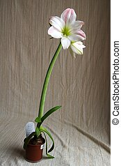 Red amaryllis on white background Hippeastrum