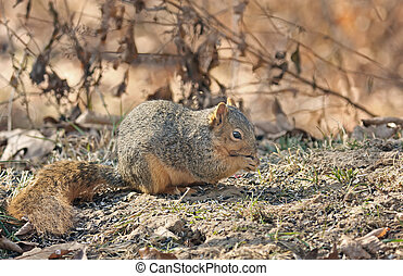 Fox Squirrel - Fox squirrel eating seeds from the ground