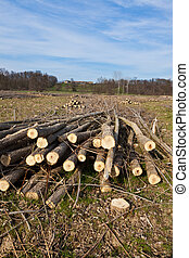 Freshly peeled logs - Logs drying out in a freshly logged...