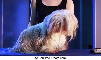 Shih Tzu dog grooming.