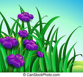 Violet flowers in the garden - Illustration of a violet...