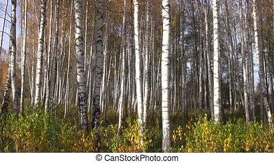 beautiful autumn birch forest