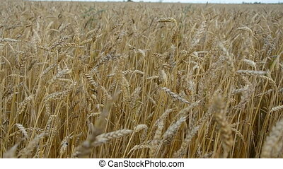 summer end wheat field and wind
