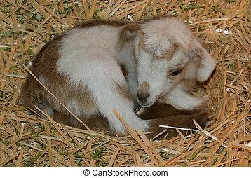 Newborn Baby Goat Laying in Straw