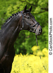 Black stallion in the colza field - Black warmblood stallion...