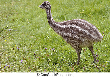 Young emu on the grass - Young emu (Dromaius...