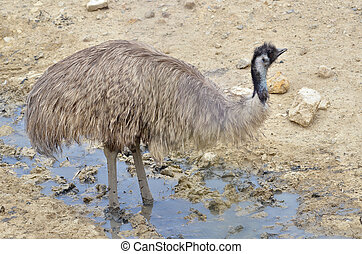 Emu in the puddle - Emu Dromaius novaehollandiae in the...