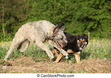 Two dogs playing with each other and running in summer