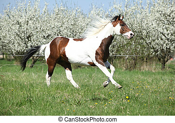Beautiful paint horse running in front of flowering trees -...