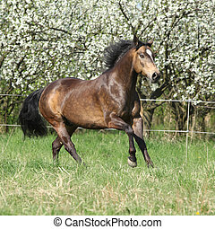Quarter horse running in front of flowering trees - Gorgeous...