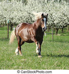 Perfect draft horse running in front of flowering trees -...