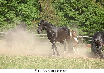 Black kladruber horse running in the dust