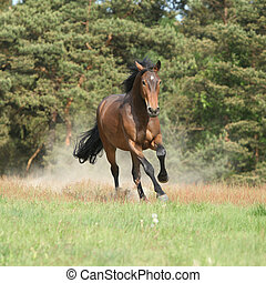 Brown horse running and making some dust in front of the...