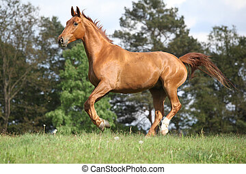 Running horse with beautiful chestnut color on pasturage in...