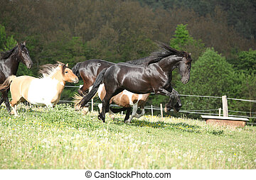 Friesian horse jumping while its ahead - Black Friesian...