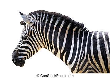 Isolated head of zebra