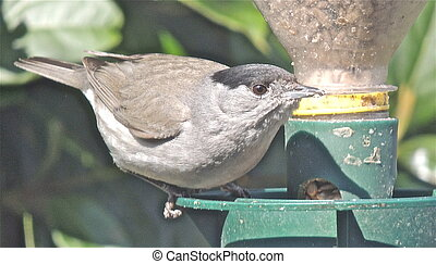 British blackcap feeding on sunflower hearts