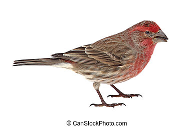 Finch, Carpodacus mexicanus, isolated - Male house finch,...