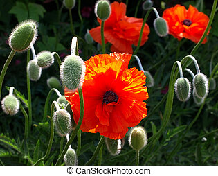 Meadow with beautiful bright red poppy flowers in the summer...