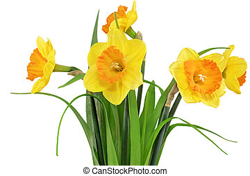 Beautiful spring flowers in vase: yellow narcissus...