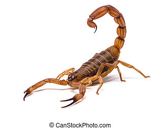 Very dangerowus big Scorpion - Brown Scorpion in front of a...