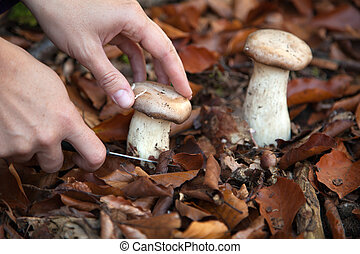 Hand cutting a mushroom with a knife in the woods