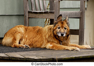 Faithful Old Friend - An mangy yellow dog looking at the...
