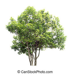 Sweet osmanthus tree isolated on white