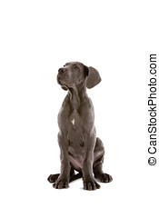 Sitting and listening - Cute young great dane on white...