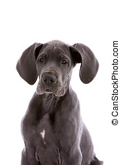 Curious puppy - Adorable young great dane puppy on white...