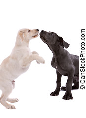 Playing dogs - Two pups; white swiss shepherd and great dane...