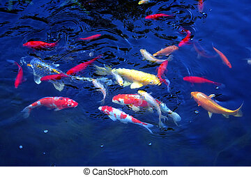Karp Fish Pond - Colourful image of young Karp in a fish...