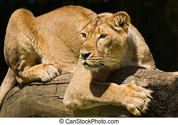 Young lioness laying in the sun and looking