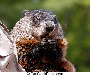 Groundhog - Close-up portrait of a groundhog being held by a...