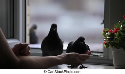 pigeons on the windowsill - pigeons pecking at seeds from...