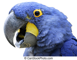 Isolated portrait Hyacinth Macaw