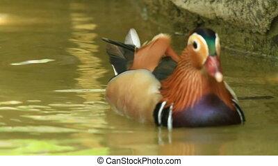 Exotic Mandarin Duck - A beautiful mandarin duck with vivid...