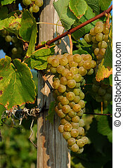 Grapes on Vine - White grapes on vine beside post