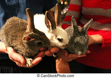 brood of three rabbits in the hands - brood of the three...