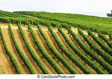 Vineyards of Montalcino Tuscany - Vineyards of Montalcino...