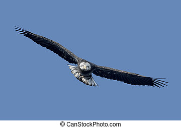 Sub-adult Bald Eagle - Sub-Adult Bald Eagle haliaeetus...
