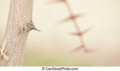 Acacia thorns - Dry thorn acacia spring