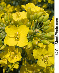 rape 1 - Yellow flower of rape from which of seeds gets oil