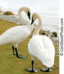 Trumpeter Swans-Love is in the air - Breeding pair of...