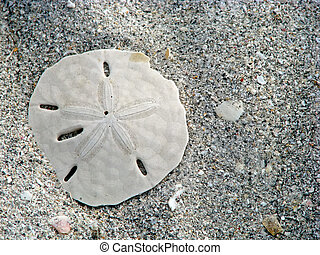 sand dollar - lone sand dollar and sea shells on beach