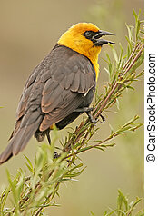 Yellow-headed Blackbird male Xanthocephalus xanthocephalus