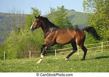 Horse on pasture - Brown horse running in pasture.
