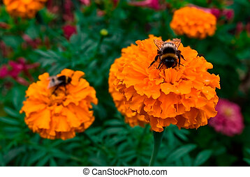 tagetes - bumble-bee on flower tagetes