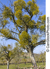Mistletoe in apple tree - Wild mistletoe viscum albumgrowing...